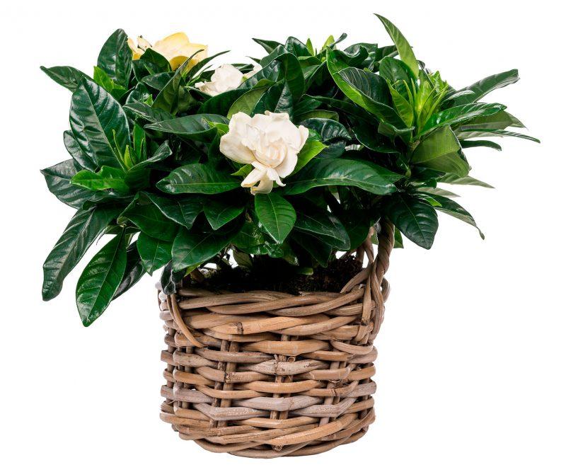 Planta Nº 08 Gardenia en cesta de Mimbre - Floristería en Madrid Margarita se llama mi amor