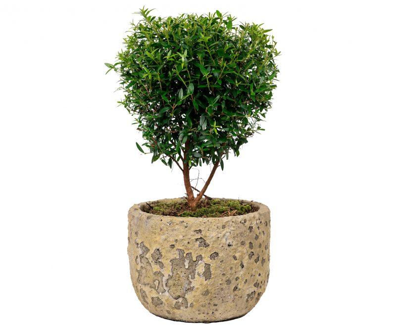 Planta Nº 09 Myrto de copa en maceta de cerámica - Floristería en Madrid Margarita se llama mi amor