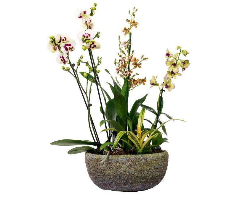 Planta Nº 14 Orquídeas mix con bromelia en maceta ovalada - Margarita se llama mi amor