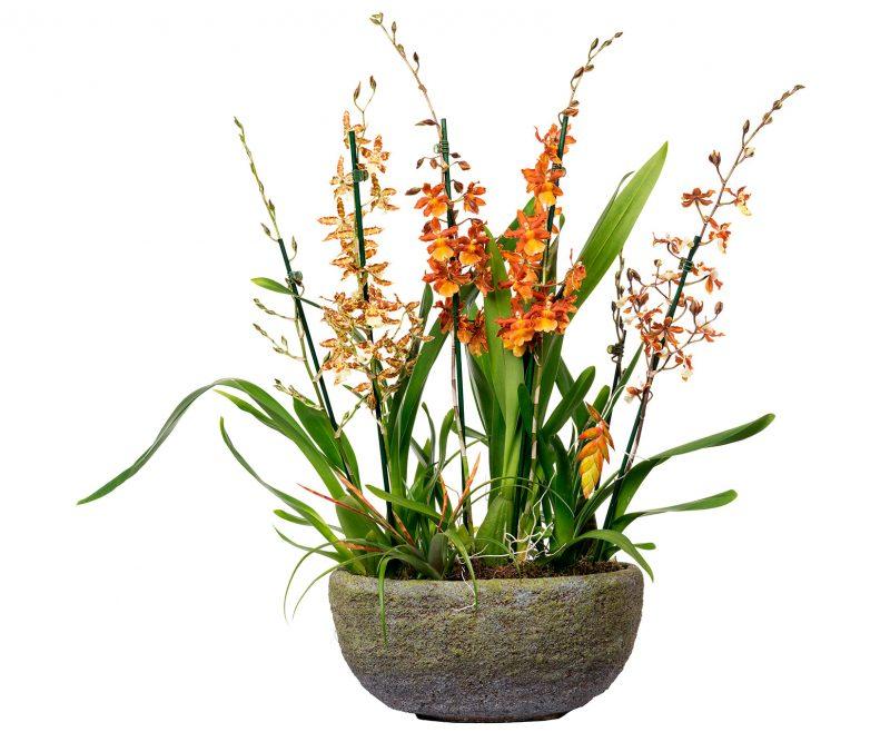 Planta Nº 15 Orquideas mix con tillandsia en maceta ovalada - Margarita se llama mi amor